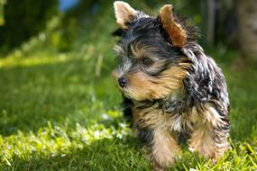 cute Puppy Yorkshire Terrier