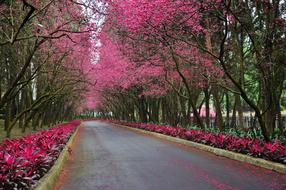 Cherry Blossoms Road