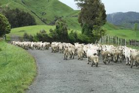 New Zealand Sheep Road