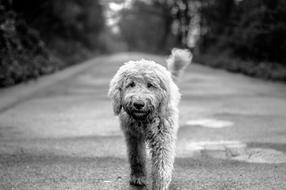 Dog Goldendoodle Road black and white