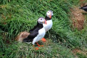 two puffins sit on green grass
