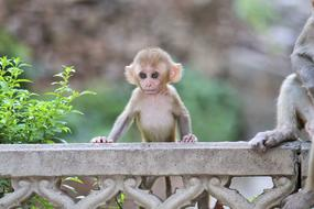 cute little monkey in India