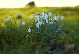 Snowdrop Spring Signs beautiful