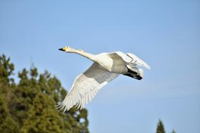 white swan flies on a background of trees