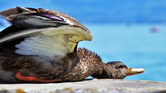 wonderful Summer Rest Duck