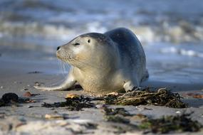 Seal Robbe North Sea