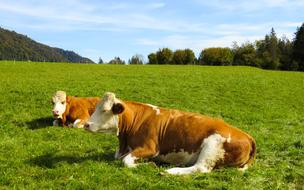 resting farm cows in countryside