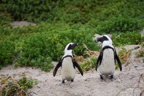 Two penguins on the beach in South Africa