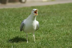 seagull with opened beak