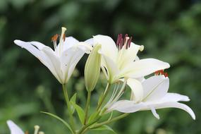 macro photo of white blooming lilies