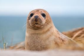 Robbe Grey Seal