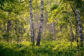 morning fog in a summer birch forest