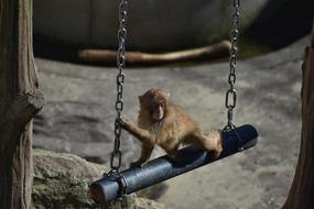 baby japanese macaque on a swing at the zoo