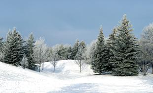 picturesque evergreen pines in winter forest