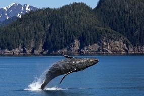 perfect Humpback Whale Jumping