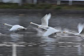 a flock of white swans flies above the surface of the water