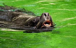 sea lion swims in green water