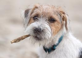 portrait of jack russell terrier on a blurred background