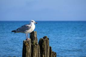 seagull sits on an old wooden breakwater