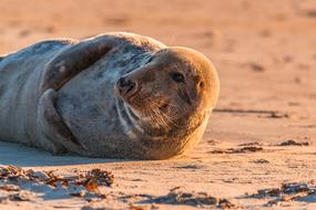perfect Grey Seal Robbe