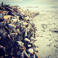 Beach Goose Barnacles