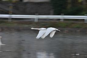 two swans are flying rapidly over the lake