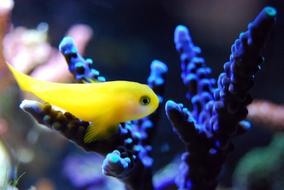 Fish Reef Coral yellow