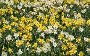 incredibly beautiful Daffodils Flowers