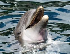 goodly Dolphin