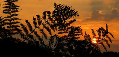 red Sunset Fern