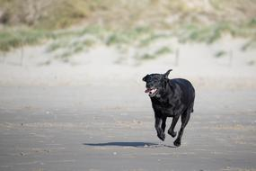 photo of a running black labrador on a beach in the North Sea