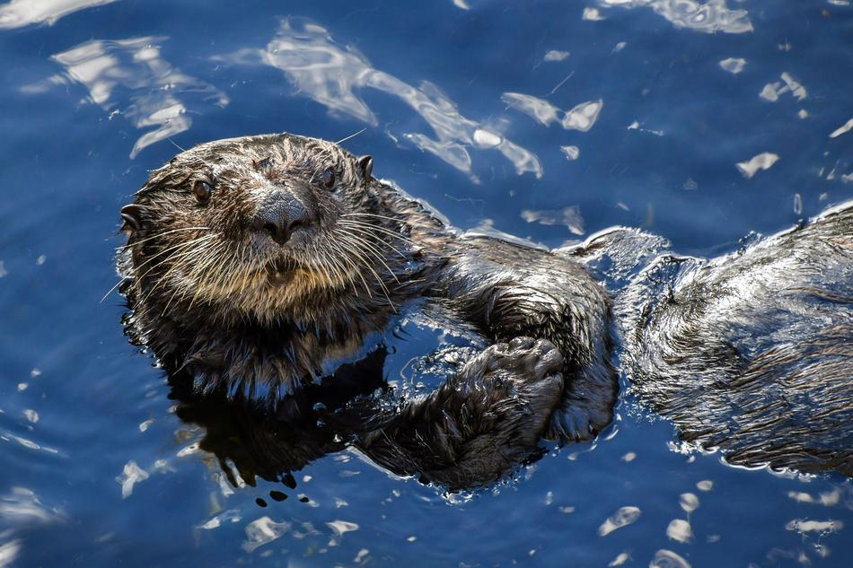 Sea ​​Otter Aquatic Animal