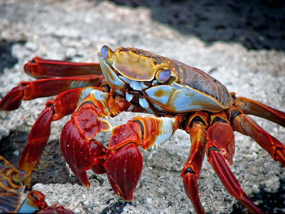 Crab Aquatic