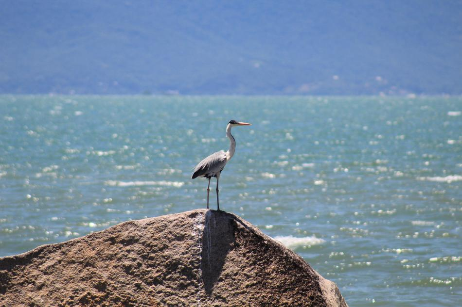 heron on a stone on the coast of santa catarina in brazil