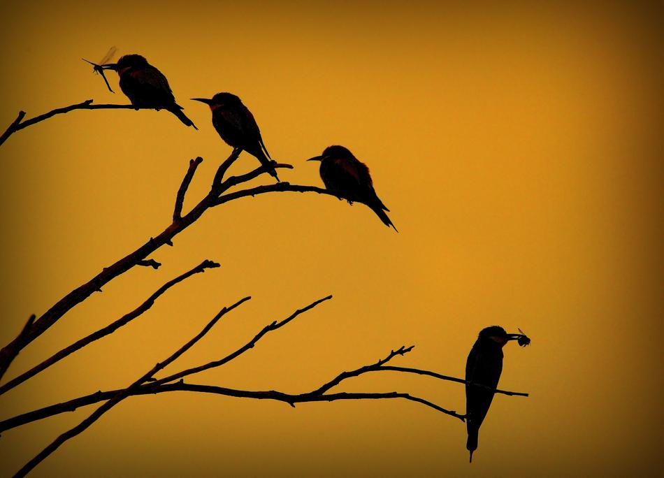 silhouettes of a European Bee-Eater Merops On the Sunset