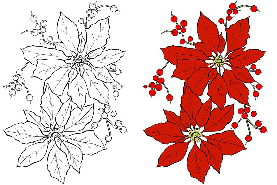 poinsettia, christmas flower as a drawing