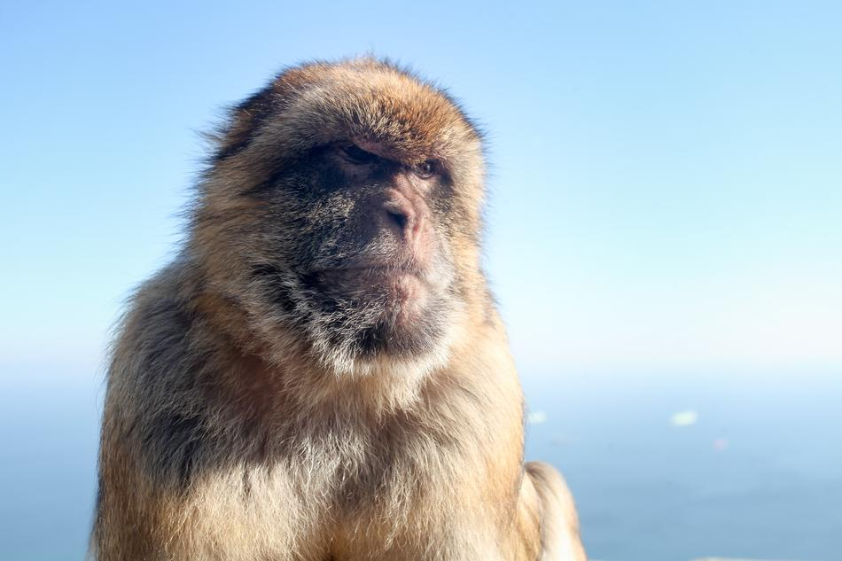perfect Macaque Monkey Gibraltar