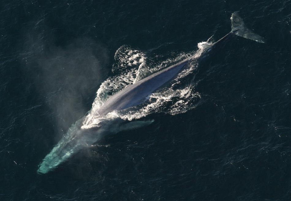 photo of a blue whale in the sea