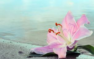 pink Lily Flower and water