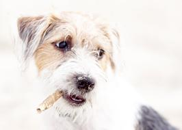 Dog Terrier smoke
