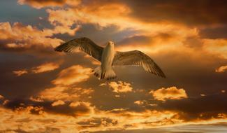 Gull Bird Flying gold sky