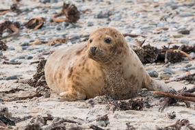 Robbe Grey Seal sand