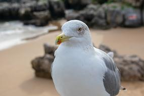 macro photo of a white-gray seagull on a sandy beach