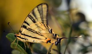 Dovetail Papilio Machaon Butterfly