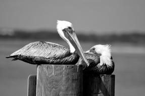 Pelicans Bird Avian black and white