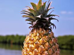yellow Pineapple Fruit Bio