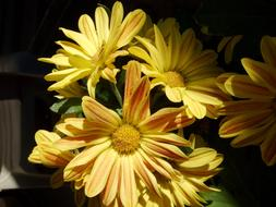 incredibly beautiful Yellow Daisies