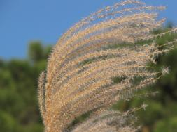 Miscanthus Blooms