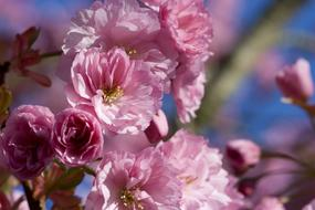 ravishing Japanese Flowering Cherry