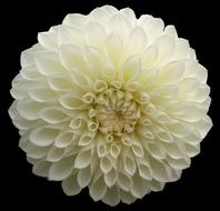 ravishing Dahlia White Flower